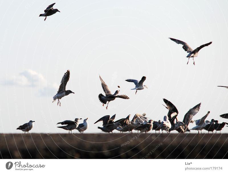Fang das Brötchen Farbfoto Außenaufnahme Tag Tier Vogel Flügel Möwe Tiergruppe Herde Schwarm fangen fliegen Fressen füttern Treffpunkt