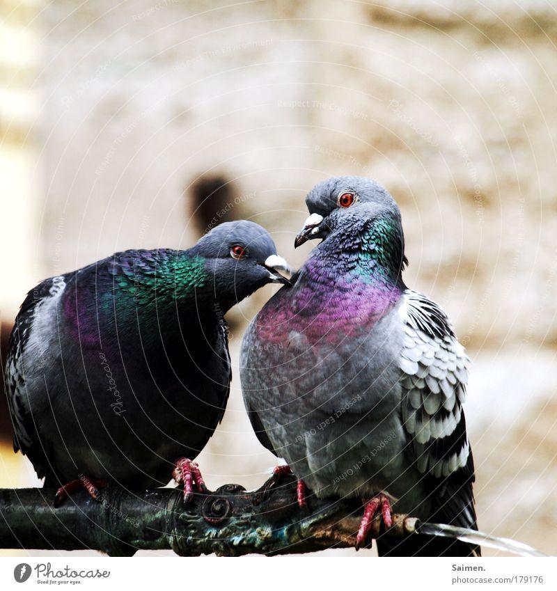 turteltäubchen schön Tier Liebe Leben Gefühle Zufriedenheit Vogel glänzend Romantik Kommunizieren Neugier Tiergesicht Leidenschaft genießen Taube Begierde