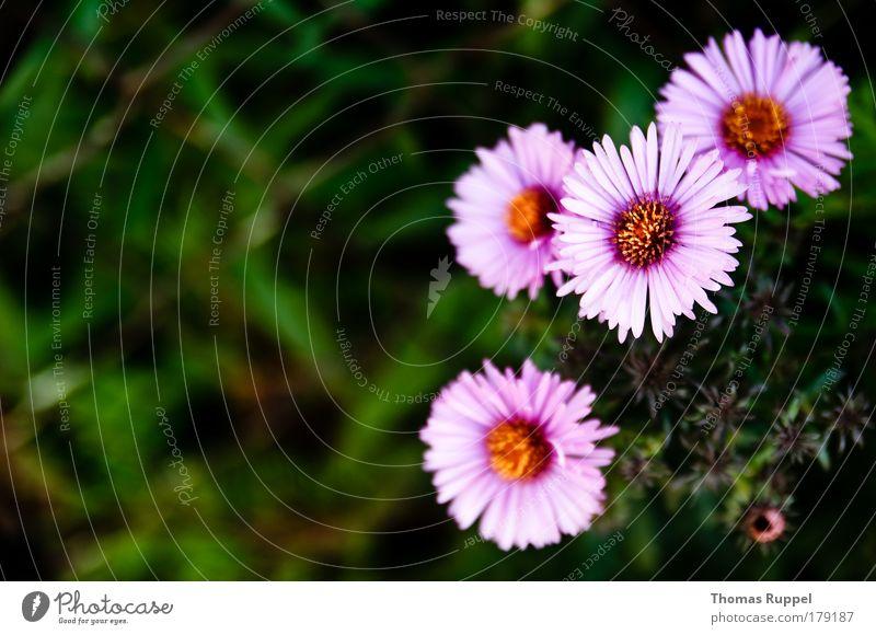 Blümchen Farbfoto mehrfarbig Außenaufnahme Nahaufnahme Menschenleer Textfreiraum links Tag Schwache Tiefenschärfe Vogelperspektive Natur Pflanze Sommer Blume