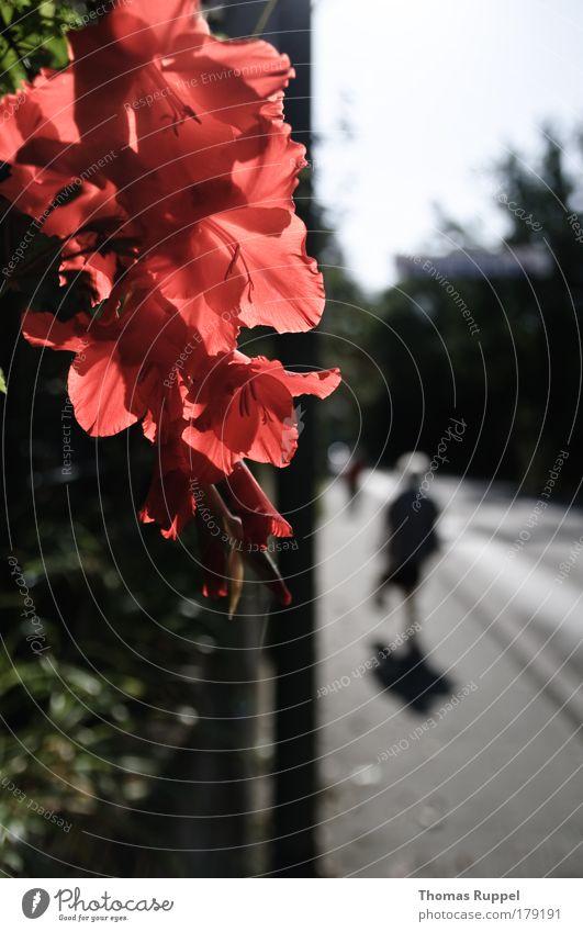 Blumenrand Mensch Himmel Natur Pflanze rot Blume Straße Blüte Wege & Pfade gehen laufen Dorf Schönes Wetter Verkehrswege Fußgänger Grünpflanze
