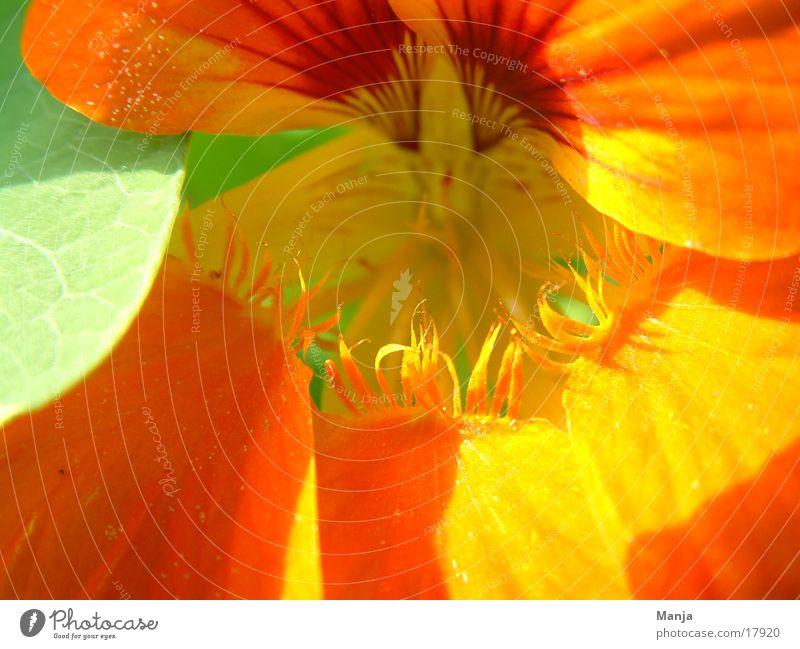 Kapuziner Blume Blüte grün orange Sonne