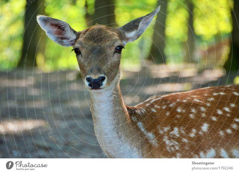 Bambi elegant Jagd Umwelt Natur Wald Tier Wildtier Tiergesicht 1 füttern schön Idylle Farbfoto Außenaufnahme Textfreiraum links Tag Blick in die Kamera