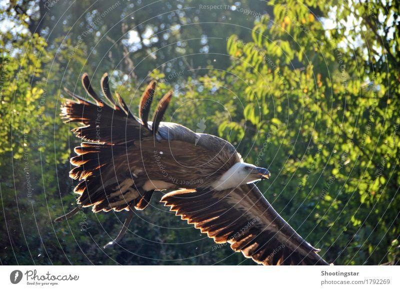 Geier im Anflug schön Tier fliegen braun Vogel frisch Wildtier Kraft ästhetisch Beginn Geschwindigkeit Lebensfreude Jagd