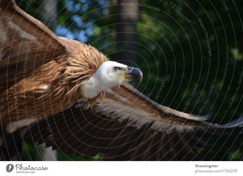 Geier im Anflug 2 weiß Tier fliegen braun Vogel frei