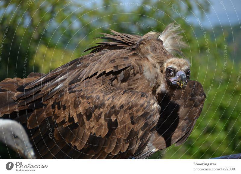 Geier 3 Natur Tier Wildtier Vogel 2 braun Appetit & Hunger Farbfoto Außenaufnahme Tierporträt Blick Blick in die Kamera
