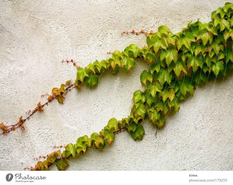 Laubfrosch Wand Efeu Pflanze Klettern haften diagonal Froschschenkel grün Gemäuer alt Ausleger Blatt Ranke Putz Sommer saftig
