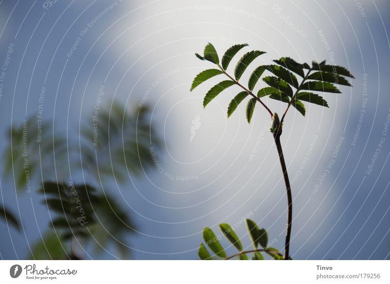 nur malESCHE Farbfoto Außenaufnahme Tag Natur Pflanze Frühling Sommer Baum Sträucher blau grün Wachstum Jungpflanze zart Trieb
