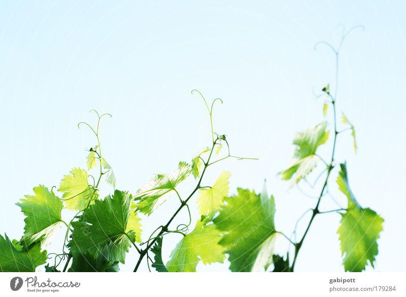 Neuer Wein Farbfoto Gedeckte Farben Außenaufnahme Menschenleer Textfreiraum oben Tag Licht Sonnenlicht Sonnenstrahlen Natur Pflanze Luft Himmel Blatt
