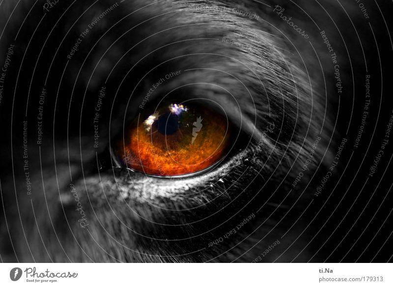 the eye of the... Hund Tier schwarz Auge glänzend authentisch Makroaufnahme Fell Haustier Wimpern Pupille Gesichtsausschnitt Hundeauge Starrer Blick