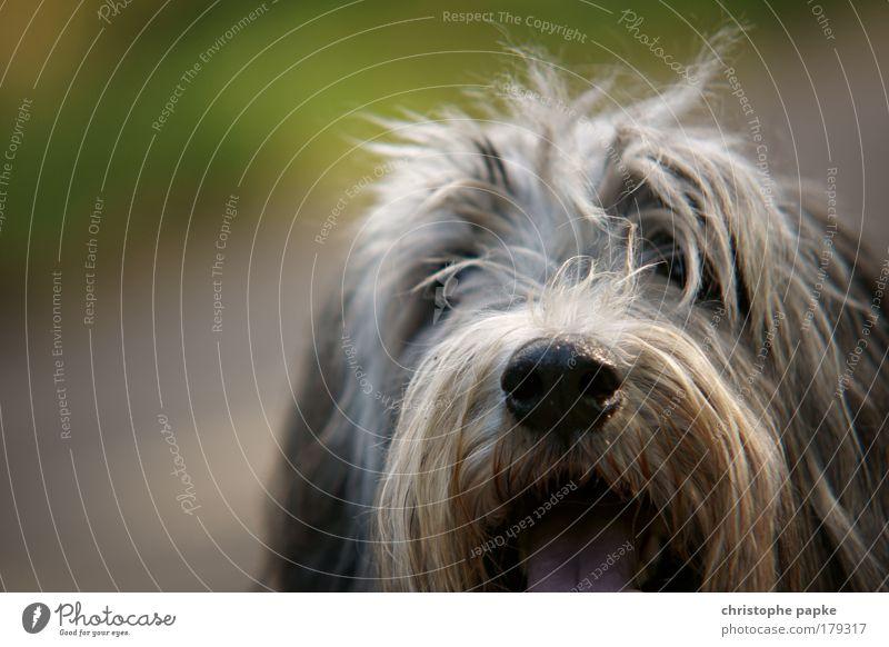 Flohtaxi Tier Haustier Hund 1 Blick dreckig Freundlichkeit Fröhlichkeit niedlich Freude Zufriedenheit Lebensfreude Begeisterung Erwartung sabbern Fell
