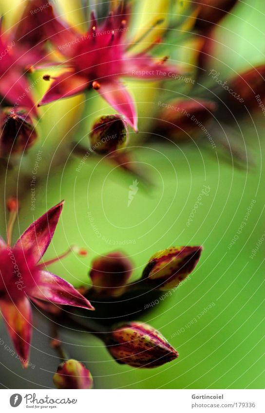 Farbflash Farbfoto mehrfarbig Schwache Tiefenschärfe Umwelt Natur Pflanze Frühling Sommer Blume Blüte Topfpflanze Blütenknospen Stempel Stern (Symbol) schön