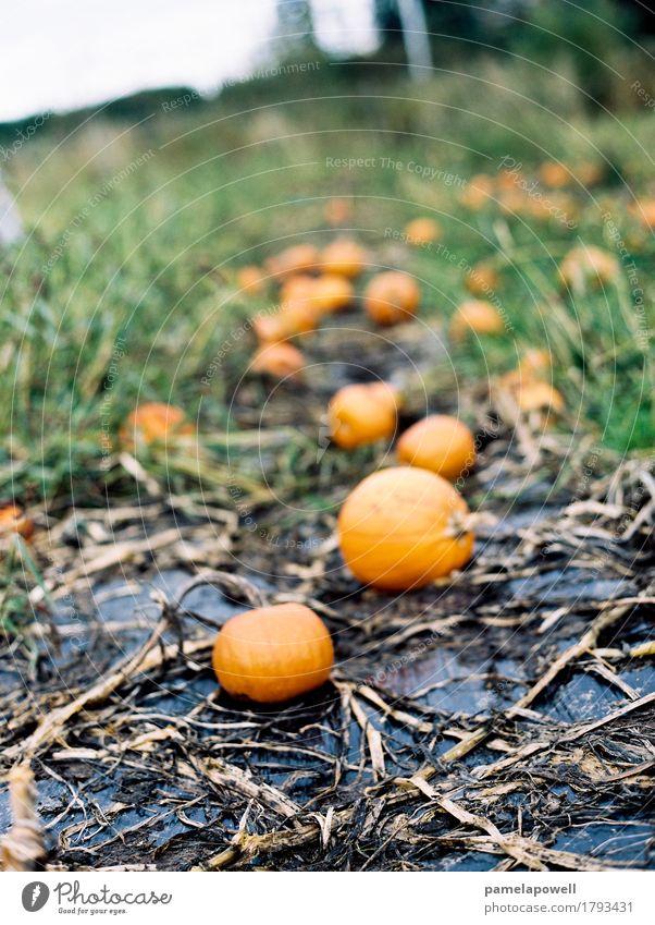 Kürbis-Patch Lebensmittel Gemüse Bioprodukte Halloween Landwirtschaft Forstwirtschaft Herbst Pflanze Nutzpflanze nachhaltig Kürbisse Fleck Bauernhof Ernte