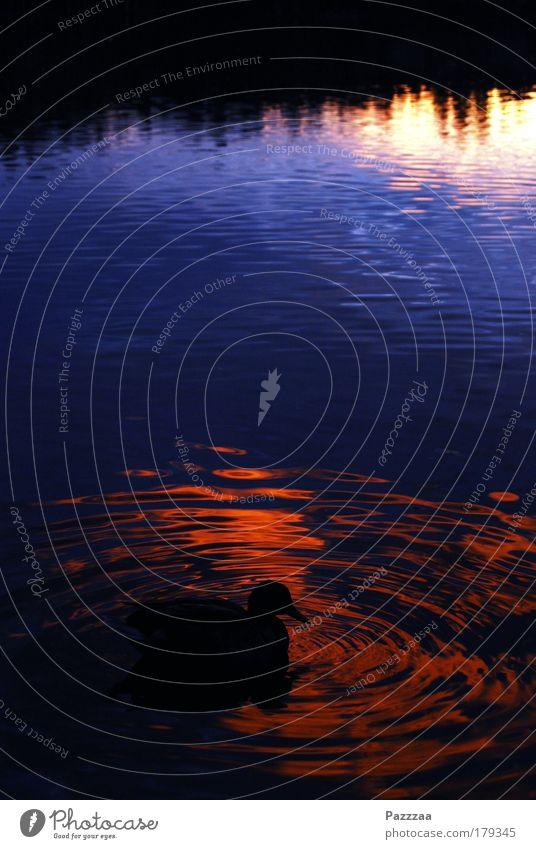 Zwielichtige Ente Wasser ruhig See träumen Vogel Wellen