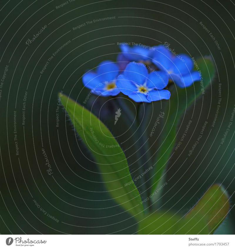 Blümchen Natur Pflanze blau schön Blume dunkel Blüte Frühling Garten Blühend Blütenblatt Wildpflanze Glückwünsche dezent Vergißmeinnicht blau-grün
