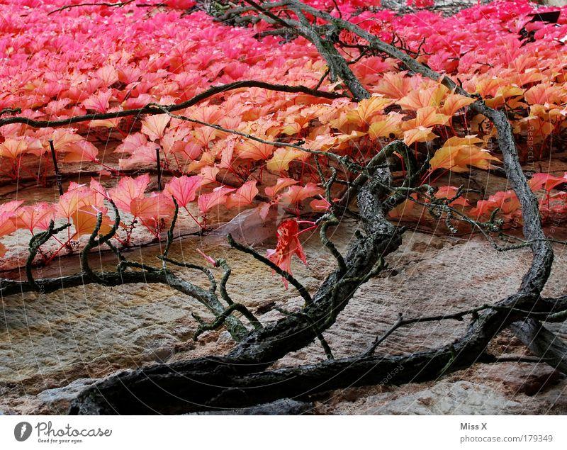 Herbst Farbfoto mehrfarbig Außenaufnahme Nahaufnahme Detailaufnahme Menschenleer Tag Froschperspektive Natur Pflanze Baum Sträucher Blatt Grünpflanze Garten