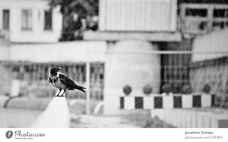 Der Vogel von der Baustelle Stadt Einsamkeit Tier Arbeit & Erwerbstätigkeit Umwelt Flügel beobachten Seite Geländer links erstaunt rechts Schwarzweißfoto