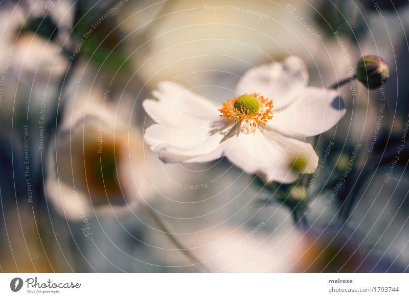 Anemone im besten Licht elegant Stil schön Geburtstag Natur Sommer Schönes Wetter Pflanze Blume Sträucher Blatt Blüte Wildpflanze Blütenstauden Anemonen