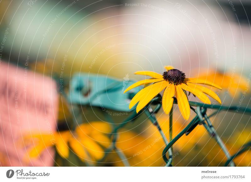 Sonnenhut gestützt elegant Stil Natur Sommer Schönes Wetter Pflanze Blume Blatt Blüte Wildpflanze Blütenstauden Garten Maschendrahtzaun Firmenschilder Strebe