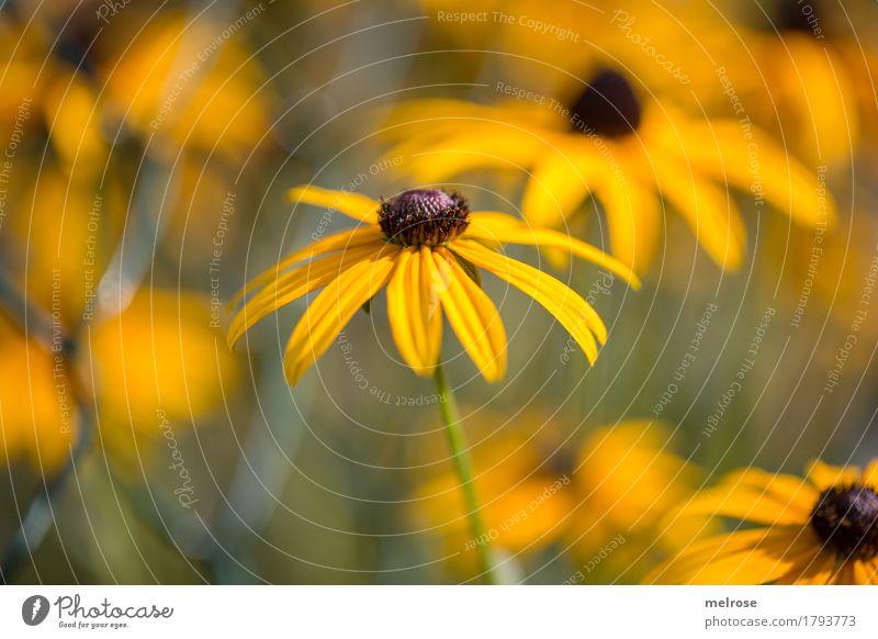 S O N N E N - HUT elegant Stil schön Muttertag Geburtstag Natur Pflanze Sommer Schönes Wetter Blume Blüte Wildpflanze Sonnenhut Blütenstauden Park