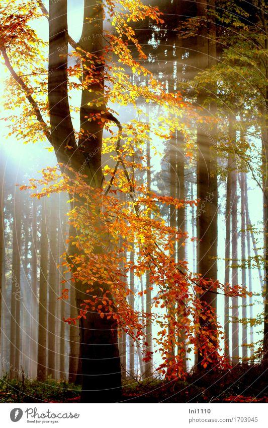 Indian summer Pflanze Sonnenlicht Herbst Schönes Wetter Nebel Baum Blatt Buchenwald Wald natürlich blau gelb grau orange rot schwarz weiß Farbe Natur