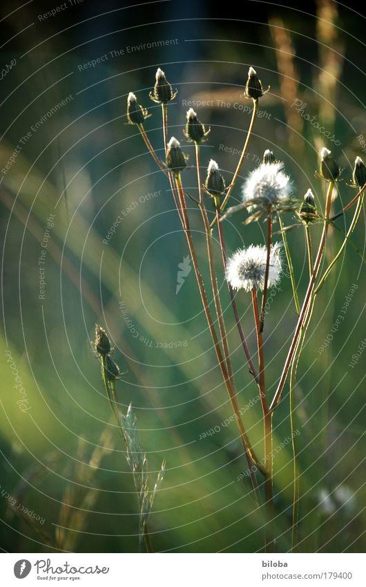 Verblüht und immer noch schön Natur alt weiß grün blau Pflanze Sommer Wiese Umwelt Klima Samen Klimawandel verblüht Wildpflanze Grassteppe