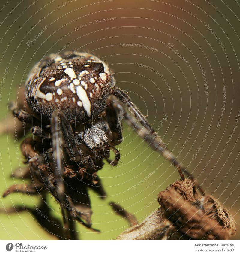 kleiner Römer Natur weiß Sommer Auge Tier Herbst Beine braun Angst warten Sträucher nah Netz beobachten Ast