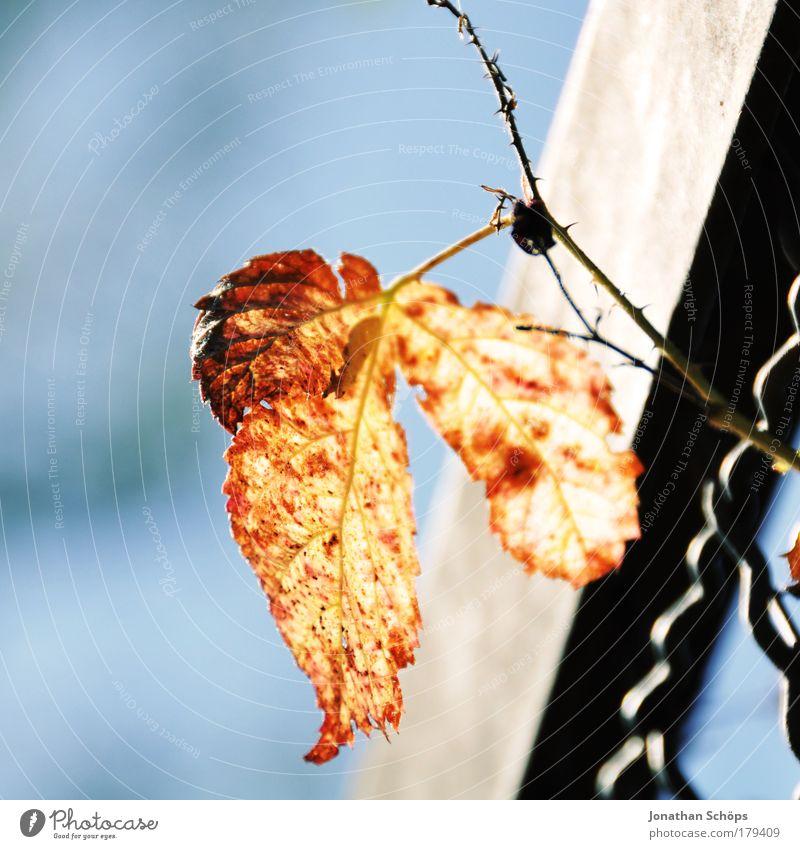 Orangenblatt blau Sonne Pflanze Blatt Einsamkeit gelb Umwelt Beleuchtung Fröhlichkeit leuchten Zaun Barriere einzeln Stachel Dorn orange-rot