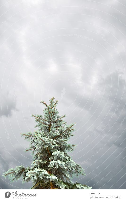 Tanne Natur Pflanze Baum Herbst außergewöhnlich Klima groß Unwetter frieren Gewitterwolken