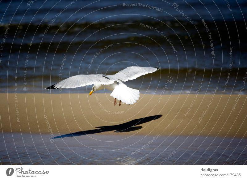 Anflug weiß Meer blau Strand schwarz Tier Leben Stimmung Vogel Wellen Küste fliegen Geschwindigkeit Luftverkehr Flügel dünn