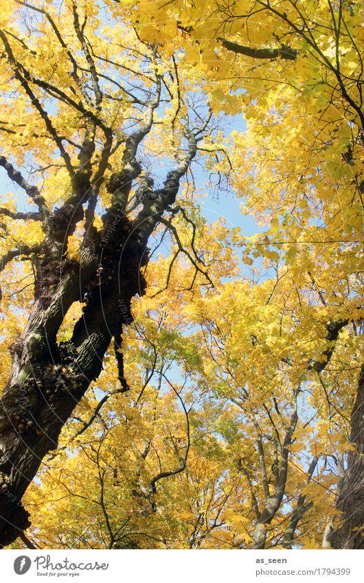 Bäume im Herbst Wellness harmonisch wandern Oktoberfest Erntedankfest Umwelt Natur Landschaft Pflanze Klima Schönes Wetter Baum Blatt Ahorn Herbstlaub Ast Park