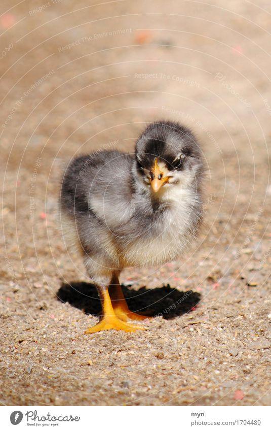 Küken Tier Nutztier niedlich Geburt neugeboren Tierjunges Schnabel Krallen weich Haushuhn ausrutschen Jugendliche Leben schön Natur Vogel Sand Frühling