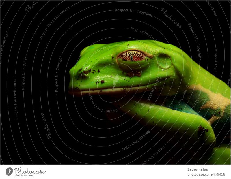 Golden Eye Tier Urwald Frosch Haustier Terrarium
