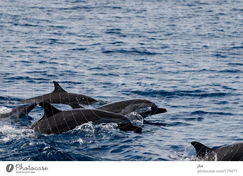 Flippers Natur Wasser Meer blau Ferien & Urlaub & Reisen Tier springen Spielen Freiheit Umwelt frei Wal Geschwindigkeit Ausflug Fröhlichkeit