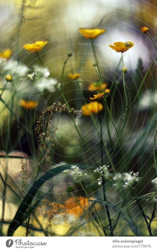 natürlich Farbfoto mehrfarbig Außenaufnahme Menschenleer Textfreiraum unten Tag Licht Schwache Tiefenschärfe Umwelt Natur Pflanze Sommer Schönes Wetter Blume