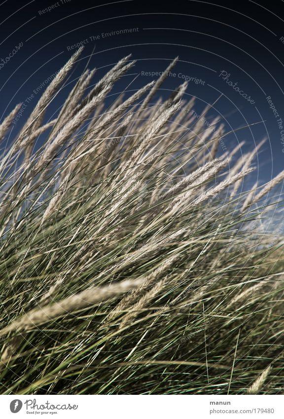 Dünengras Natur Himmel blau Pflanze Sommer Strand Erholung Herbst Gras Wind Design Umwelt Sträucher natürlich Schönes Wetter Nordsee