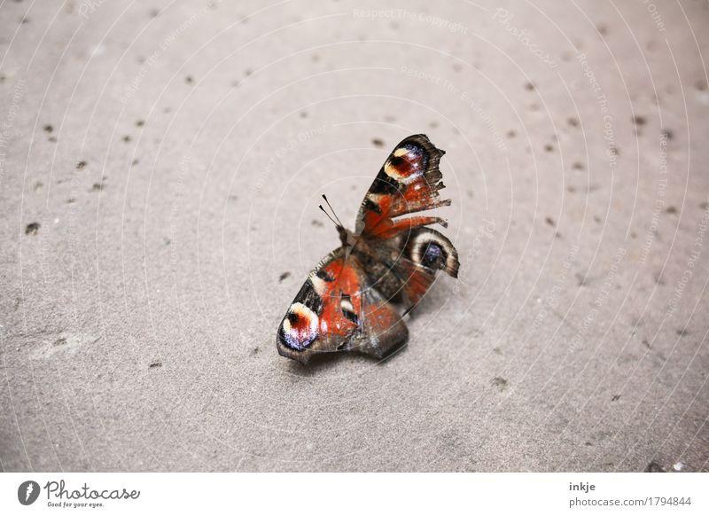 Alter Falter Wildtier Schmetterling Flügel Tagpfauenauge 1 Tier hocken kaputt klein Gefühle Schmerz Natur Verfall Vergänglichkeit Mitgefühl