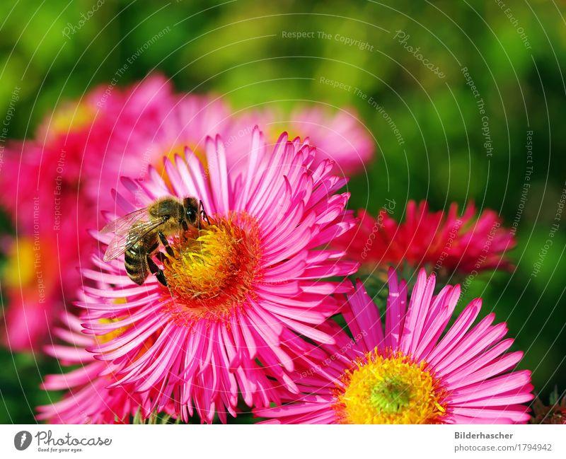 Biene auf rosa Aster Honigbiene Astern strahlend Insekt Fluginsekt Blüte Blume Herbstlaub Blütenstauden Korbblütengewächs Blütenblatt Pollen Nektar Sommer