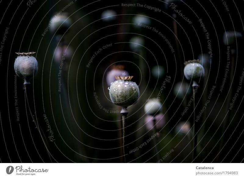 Mohnkapseln im Dunklem Natur alt Pflanze schwarz Leben Herbst Garten braun rosa glänzend elegant ästhetisch Wassertropfen nass violett Wildpflanze