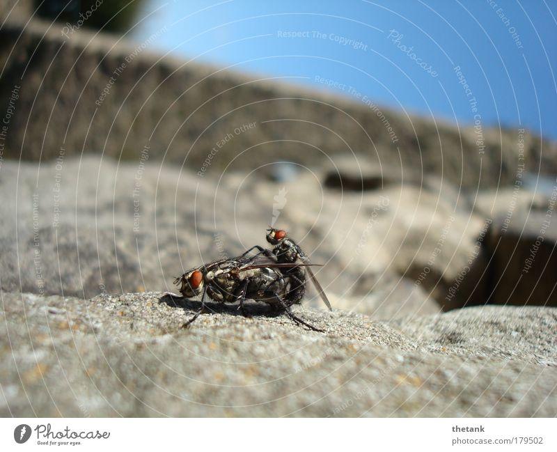 fickende Fliegen oder: kopulierendes Fliegenpaar auf rauer Mauer Freude Tier klein groß Konzentration Leidenschaft Lust Rausch Begierde Umarmen Euphorie