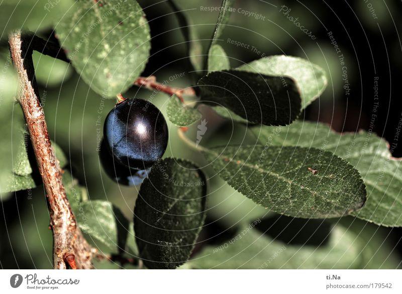 Schwarzdorn Natur blau grün Baum Pflanze Blatt Tier Herbst Umwelt Landschaft Gesundheit Sträucher saftig Frucht Spirituosen Wildpflanze