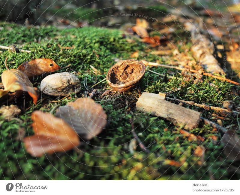 Waldboden Natur Pflanze Umwelt Herbst Gras Holz Erde Klima Ast weich Moos Wildpflanze Walnuss