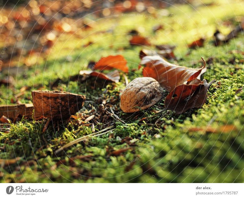 Nuss Umwelt Natur Pflanze Erde Sonnenlicht Herbst Klima Gras Moos Blatt Wildpflanze Walnuss Wald leuchten dreckig Gesundheit glänzend weich braun gelb gold grün