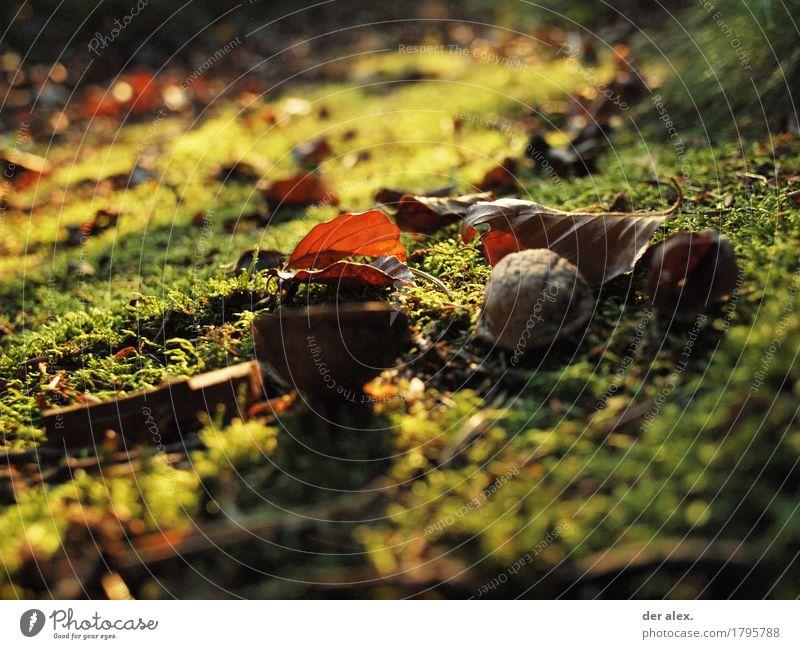Moos Natur Erde Sonnenlicht Herbst Pflanze Blatt Wildpflanze Walnuss Wald wandern weich braun gold grün orange ruhig Leben einzigartig Klima Wachstum Laub