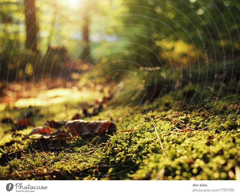 Moosleuchten Natur Pflanze grün Sonne Blatt ruhig Wald Umwelt gelb Herbst Gras braun glänzend Erde wandern