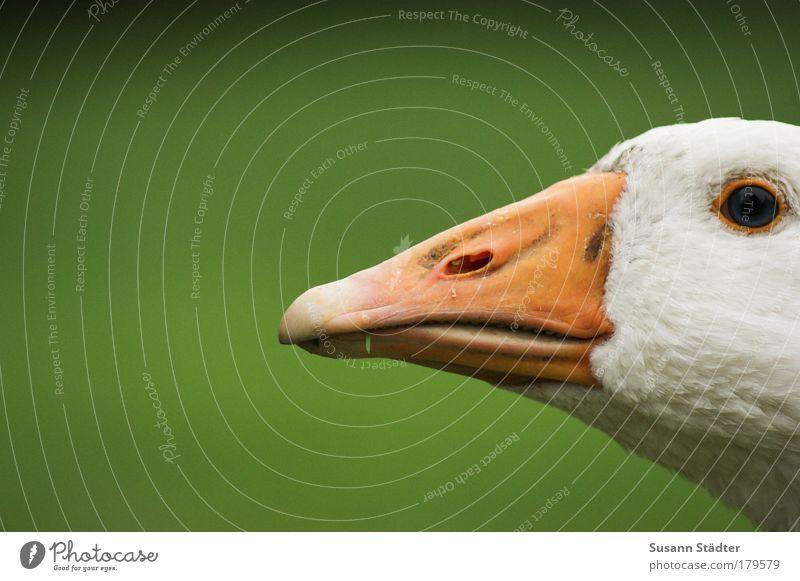 Elfriede Tier Landschaft Flügel Feder Tiergesicht Schnabel Schwan Gans Tierzucht freilaufend