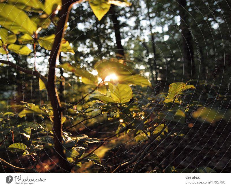 Waldlicht wandern Umwelt Natur Pflanze Himmel Sonnenlicht Herbst Schönes Wetter Baum Blatt Wildpflanze Rotbuche Buche leuchten glänzend Zufriedenheit Farbfoto