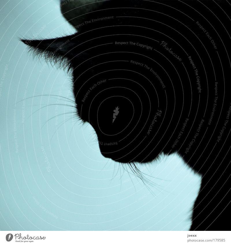 Hab ich … schön blau ruhig Tier Katze Gelassenheit Haustier geduldig Tierliebe