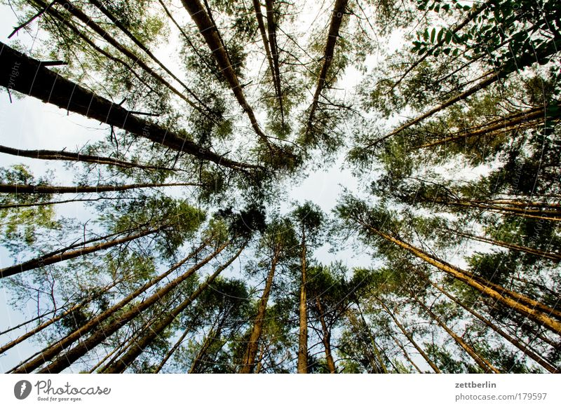 Waldfrosch Baum Baumstamm Brandenburg Herbst hochwald Kiefer Nadelwald Sommer Sonne Tanne