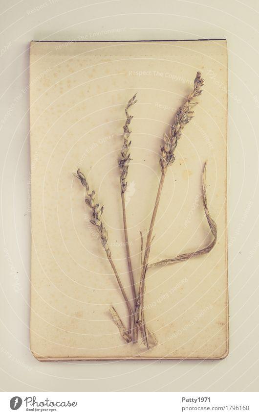 Getreidehalm Lebensmittel Ernährung Natur Pflanze Nutzpflanze Weizen Papier Zettel alt retro trocken braun ruhig Nostalgie Verfall Vergänglichkeit