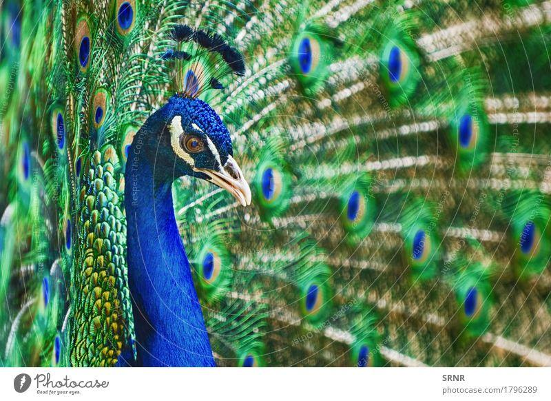 Porträt von Pfau Tier Vogel 1 schön Festakt Balz Balzritual verdecktes Federtier Vogelwelt verdeckte Federn extravaganter Schwanz Augenfleckschwanz Fauna